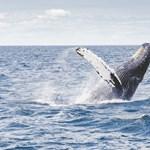 Meglepő dolog derül ki a bálnák énekéről: időnként teljesen új dalokat találnak ki