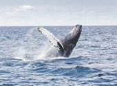 Egészben kapott be egy bálna egy amerikai halászt