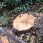 Szinte az összes fát kivágták egy focipályányi területen Balatonkenesén