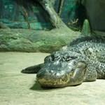 Moszkvában állítják ki az aligátort, amely a háború alatt a berlini állatkertből szökött meg