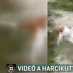 Fiatalok uszítottak egymásnak két harci kutyát Izsákon, videóra vették a viadalt