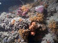 2,5 kilométer hosszú korallzátonyt fedeztek fel az Adriai-tengerben