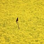 Gyengült a pollentámadás az országban