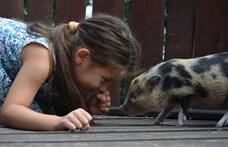 A kutya az embernek, a törpemalac csak a gazdájának legjobb barátja?