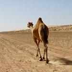 Botox miatt zártak ki egy tucat tevét a hagyományos szaúdi tevefesztivál szépségversenyéről