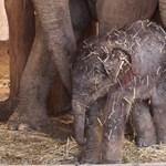 Nem könnyű felébreszteni a budapesti kiselefántot – videó