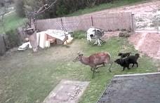 Kutyák kergettek be egy ház udvarára egy szarvasbikát Szentkirályszabadján