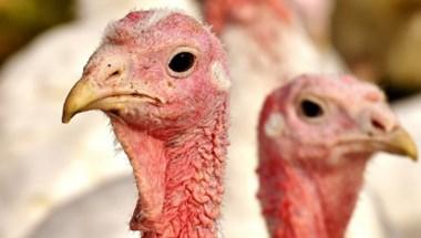 180 ezer szárnyast ölnek meg Erdélyben a madárinfluenza miatt