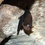 Gyilkos denevér-kór miatt zárják le a barlangokat