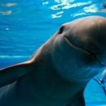 A szemünk láttára halhatnak ki a disznódelfinek, pedig megmenthetnénk őket
