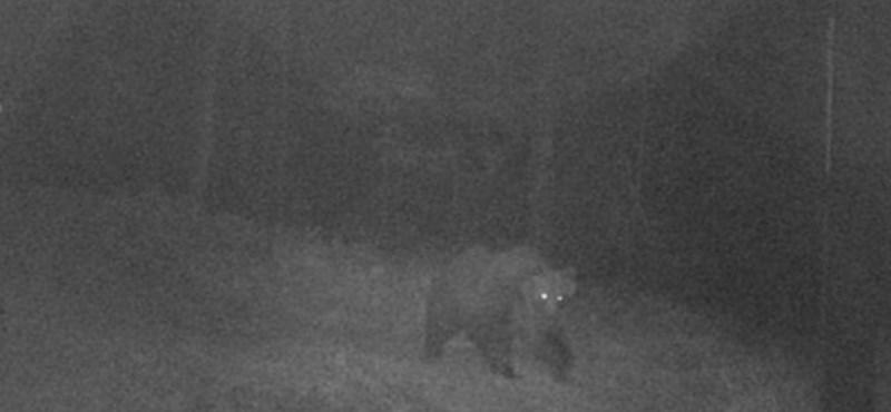 Ismét megszökött a brutális olasz medve, Pillangó