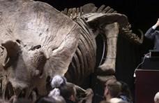 6,6 millió eurót fizetett valaki a legnagyobb ismert triceratopsz-csontvázért
