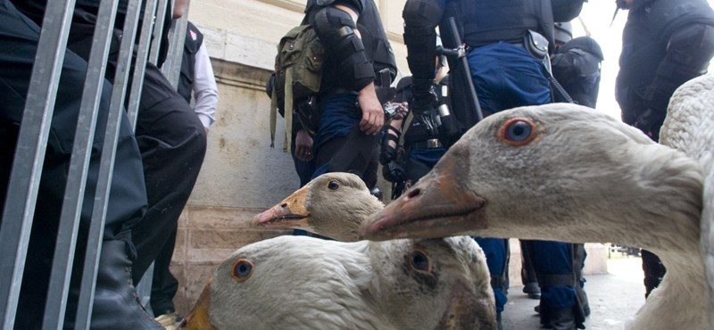 Libákkal tüntetnek Bajnai ellen: állatkínzás miatt tettek feljelentést