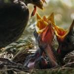 A madárszülők azért űzik el hamar fiókáikat, hogy legalább egy túléljen