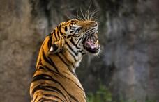 Megtörténhet az elképzelhetetlen: néhány éven belül kihalhatnak a tigrisek