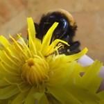 Van remény: új lehetőséget kapott az élettől a szárny nélküli méhecske – videó