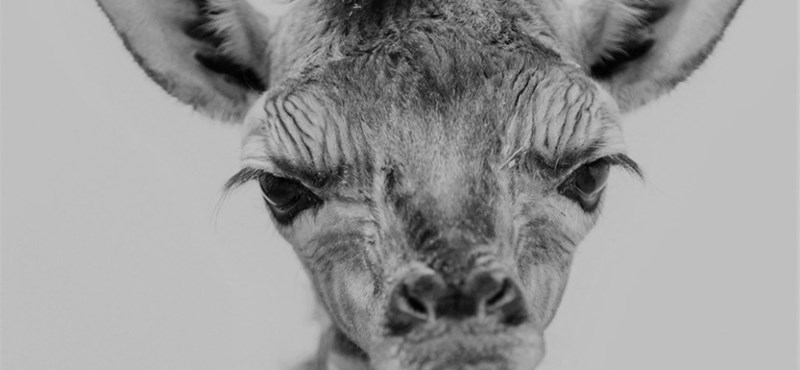 Elpusztult a veszprémi zsiráfbébi