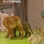 Golden retriever anyuka nevel kistigrist és kisoroszlánt egy pekingi vadasparkban – videó