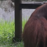 Cigarettázó orangutánt filmeztek le Indonézia rosszhírű állatkertjében