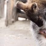 Már kikukucskál az erszényből a budapesti kengurubébi – videó