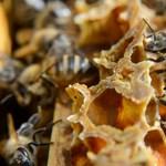 Betegek a méhek Pécs környékén, zárlatot rendeltek el