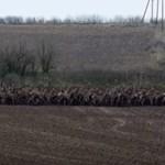 Óriási szarvascsorda vágtatott át egy baranyai úton (videó)
