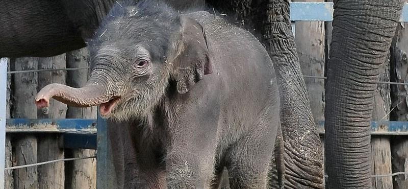 Ma lép a fotósok elé az állatkerti kiselefánt