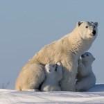 Bocsát védte a jegesmedve, amelyik megölt egy vadászt Kanadában