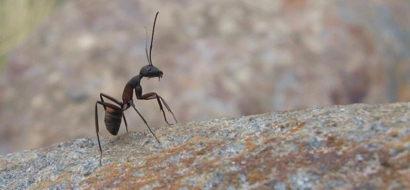 Mi történik, ha otthonától 1500 km-re tesznek le egy hangyát?