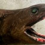 Rémisztően ronda cápát fogtak Ausztráliánál – fotó