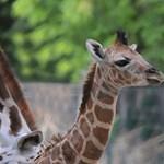 Holtan találták a bécsi állatkert hét hónapos zsiráfját