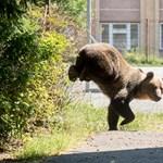 Vadászó magyarra támadt egy medve Székelyföldön