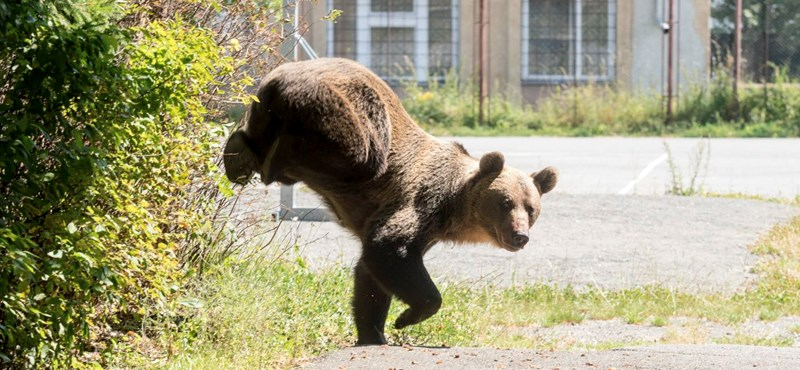 Most Szalonna mellett láttak medvét
