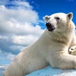 Kevesebb a jég, ezért soványabbak és kevesebb bocsuk születik a jegesmedvéknek a Baffin-öbölben