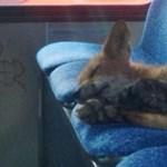 Fotó: szőrös kis vendég aludt jóízűen egy ottawai buszon