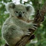 """""""Csöndes gyilkos"""" veszélyezteti a koalákat"""