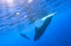 Majdnem bálnák nyomtak össze egy úszó nőt Ausztráliában