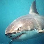 Még mindig élet-halál között lebeg a szörfös, akinek cápa harapta le a lábát