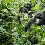 Megölték Uganda egyik legismertebb gorilláját, életfogytiglani börtönt is kaphatnak a gyilkosai