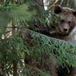 A sok medve miatt vadgazdákat képez a Szent István Egyetem Csíkszeredán