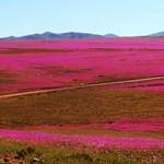 Virágba borult a Föld legszárazabb sivataga