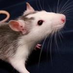 Patkányból készül az új gyros