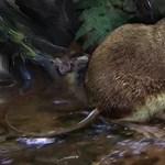 Új egereket fedeztek fel Kongóban