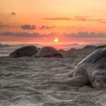 Lenyűgöző drónvideó: több ezer teknőst filmeztek le Costa Rica partjainál