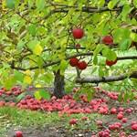 Itt az ősz, ültessünk gyümölcsfákat! Tippek kezdő kertészeknek