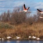Három-négy tagú baráti társaságokba verődnek a flamingók, betegségben is kitartanak egymás mellett