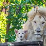 Már látható a Szegeden született fehér oroszlánkölyök