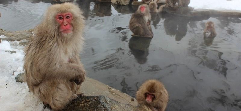 Kevésbé stresszelnek a japán makákók, ha forró fürdőt vesznek