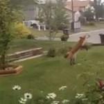Önfeledten játszó rókát vettek fel egy kertben – videó